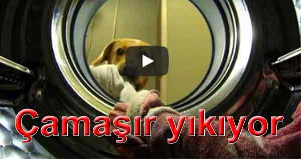 Çamaşır yıkayan köpek